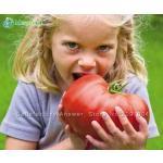 Record Du Monde Tomate Geante Lot De 10 Graines Variété Suprême Bio